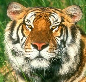 тигр портрет